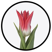 Tulipa Chic Rosé