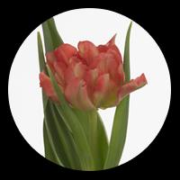 Tulipa Monte Pink