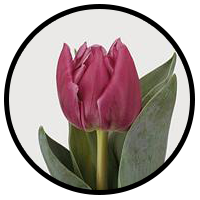 Tulipa Double Princess