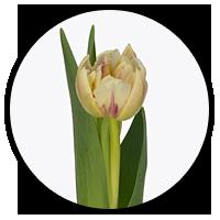 Tulipa Flaming Margarita
