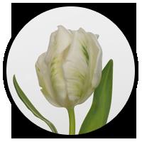 Tulipa Super Parrot