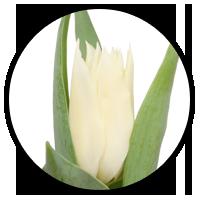Tulipa Tres Chic