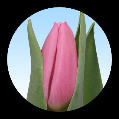 Tulipa Sirikit